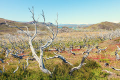Dead tree forest near the horns horns of Towers of the Paine, Pa Royalty Free Stock Image