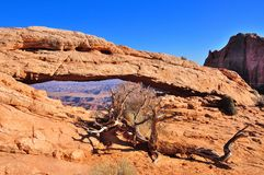 Dead tree in front of Mesa Arch, Canyonlands Stock Photo
