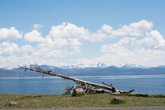 Dead Tree in Front of Yellowstone Lake. This was a lake in Yellowstone National Park. I saw this dead tree perked up on the ground in front of the lake and Royalty Free Stock Images
