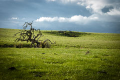 The dead tree. A gnarled dead tree in the middle of a field Stock Photography