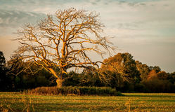 Dead Tree in Golden Hour Royalty Free Stock Photography