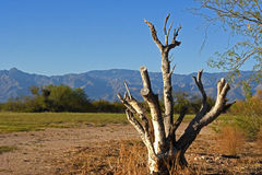 Dead tree at the golf course. At the sunset, with mountains in the background Stock Photos