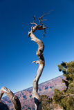 Dead Tree at Grand Canyon. A twisted decomposing dead tree stands against a blue sky background with a tilted Grand Canyon cliff Stock Image