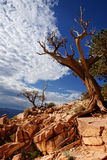 Dead tree - Grand canyon, Arizona Stock Photo