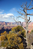 Dead tree in Grand Canyon. Old gray tree. Grand Canyon on background. Green bush near Stock Image