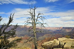 Dead tree on Grand Canyon South Rim Royalty Free Stock Image