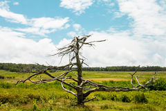 Dead tree in a green field Royalty Free Stock Images