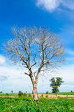 Dead tree on green meadow Royalty Free Stock Photography