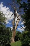 Dead tree of green plants. Dead tree in the botanical garden in Bulgaria against many green trees. In the background of blue sky and clouds. Sunny day Stock Photos