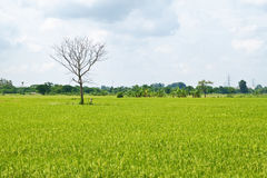 Dead tree among green rice paddy field Royalty Free Stock Images