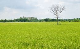 Dead tree among green rice paddy field Royalty Free Stock Image