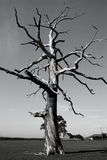 Dead Tree In Greyscale. A large dead tree branches thrown out in all angles rendered in black and white Royalty Free Stock Photo
