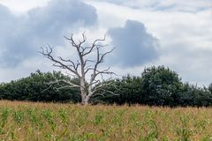 Dead tree growing in a field of maize near Ardingly Stock Photography