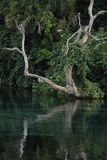 Dead Tree Hanging near the Spring Head at Rainbow Springs Stock Photography