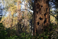 Dead tree with holes made of woodpecker Royalty Free Stock Photo