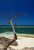 Dead tree in Holguin Cuba Royalty Free Stock Photo