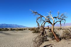 Dead Tree In Death Valley National Park, California Stock Images