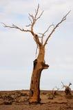 Dead Tree In Desert Stock Photos