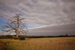 Dead tree Indiana Farm field Stock Image