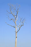 Dead tree isolated Royalty Free Stock Image