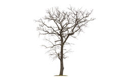 Dead tree isolated white background Royalty Free Stock Image