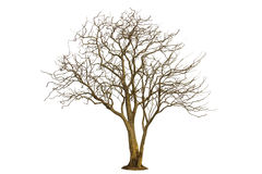Dead tree isolated with white background Stock Photography