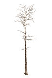 Dead tree isolated Royalty Free Stock Photos