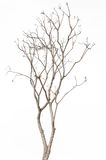 Dead tree isolated on white. Background Royalty Free Stock Image