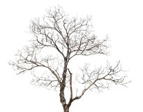 Dead tree isolated Stock Image