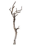 Dead tree isolated on white Stock Image