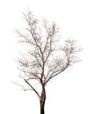 Dead tree Royalty Free Stock Photography