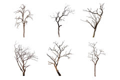 Dead tree isolated Royalty Free Stock Photo