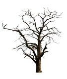 Dead Tree. Isolated on a white background Stock Photos
