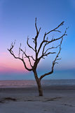 Dead Tree on Jekyll Island Stock Photo