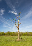 Dead tree with jet trails Royalty Free Stock Photo
