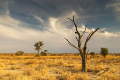 Dead tree in the Kalahari Desert. Sunset shot of a dead kameeldoring tree in the Kalahari Desert Royalty Free Stock Photography