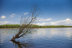 Dead tree in a lake Royalty Free Stock Photography
