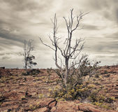 Dead tree on lava Royalty Free Stock Images
