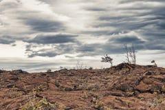 Dead tree on lava Royalty Free Stock Photo