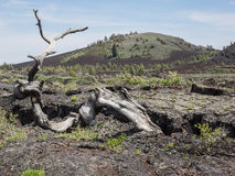 Dead tree and lava rock Stock Images