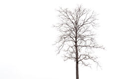 Dead tree without leaf isolated on white Stock Photos