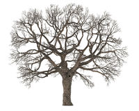 Dead tree without leaves isolated Royalty Free Stock Photo