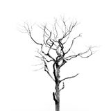 Dead Tree without Leaves Royalty Free Stock Photo