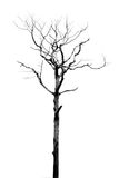 Dead Tree without Leaves Royalty Free Stock Images