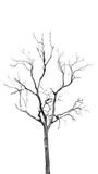 Dead Tree without Leaves Royalty Free Stock Photos