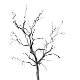 Dead Tree without Leaves Stock Photography