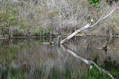 A Dead Tree Limb Reflected in the Water Royalty Free Stock Photography
