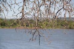 Dead tree limbs. Dead weblike tree limbs near the lake Royalty Free Stock Image