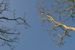 Dead tree low angle. Photograph of a dead tree in dry season low angle Royalty Free Stock Photos