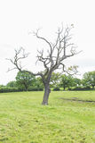 Dead tree in a lush green field Stock Image